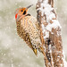 Northern Flicker by Kathrin Swoboda