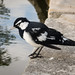 Magpie lark (colour)