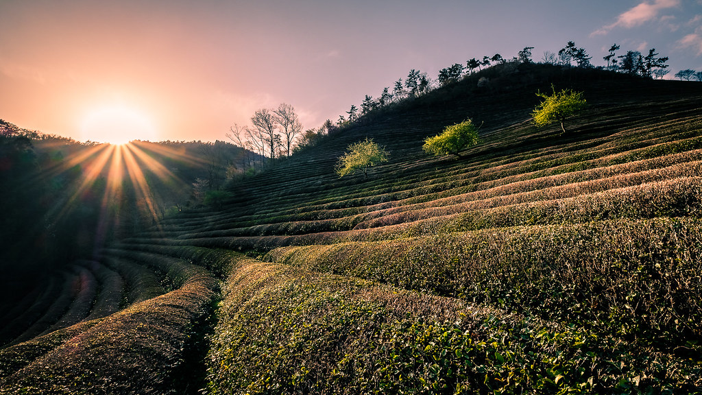 Boseong Green Tea Field, South Korea picture