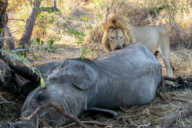 Male lion feeding on elephant