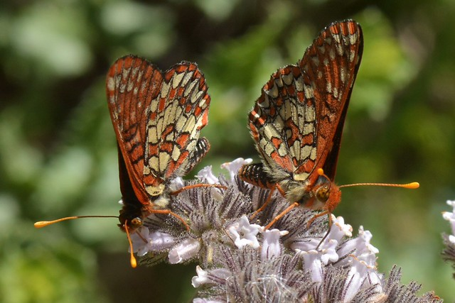 Two-fer of Variable Checkerspot butterflies on Yerba Santa