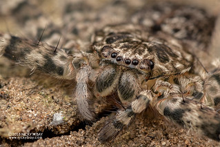 Flatty spider (Selenops sp.) - DSC_2345b
