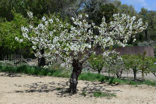 DAV_0668 Cherry blossoms