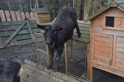 goats Mar 18 (3)
