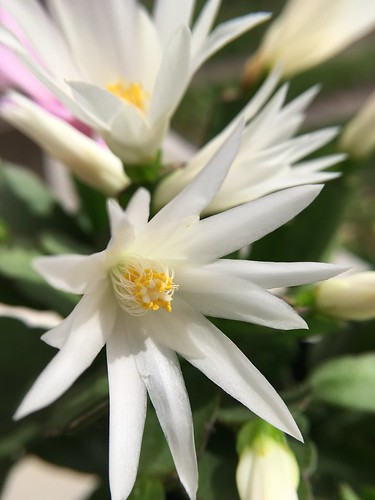 white Easter cactus
