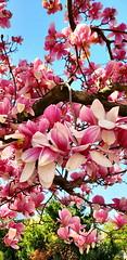 Love Magnolias
