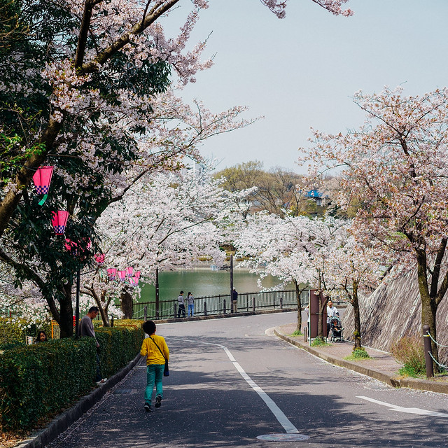 CherryBlossoms_201