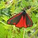Cinnebar Moth: 164/365