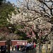 cherry blossoms in Nara Park by hueymilunz