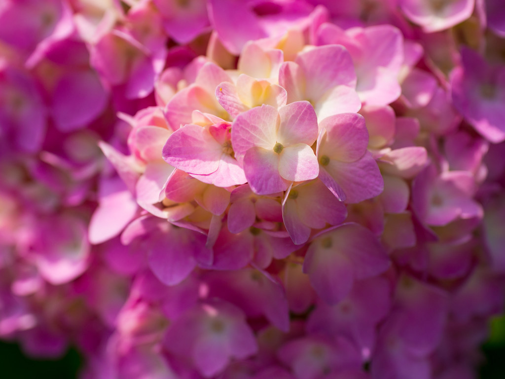 Pink hydrangea turning color