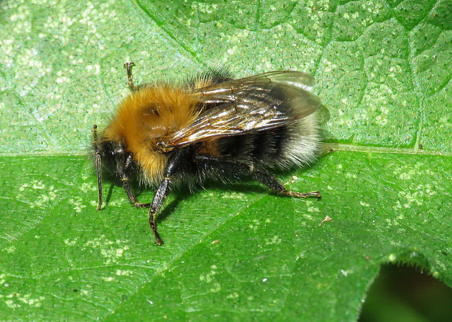 Tree Bumblebee - Bombus hypnorum