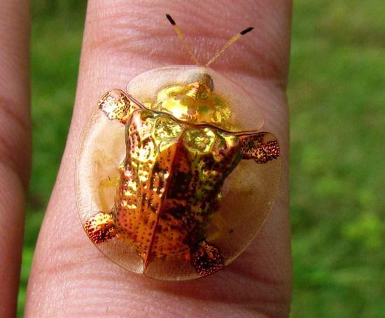 Золотой черепаховый жук