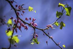 Blue Berry Tree Dallas 1