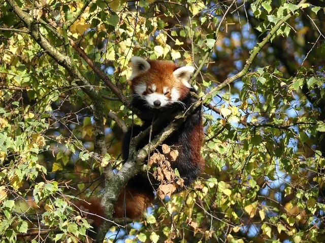 Kleiner Panda, Ouwehands Dierenpark Rhenen