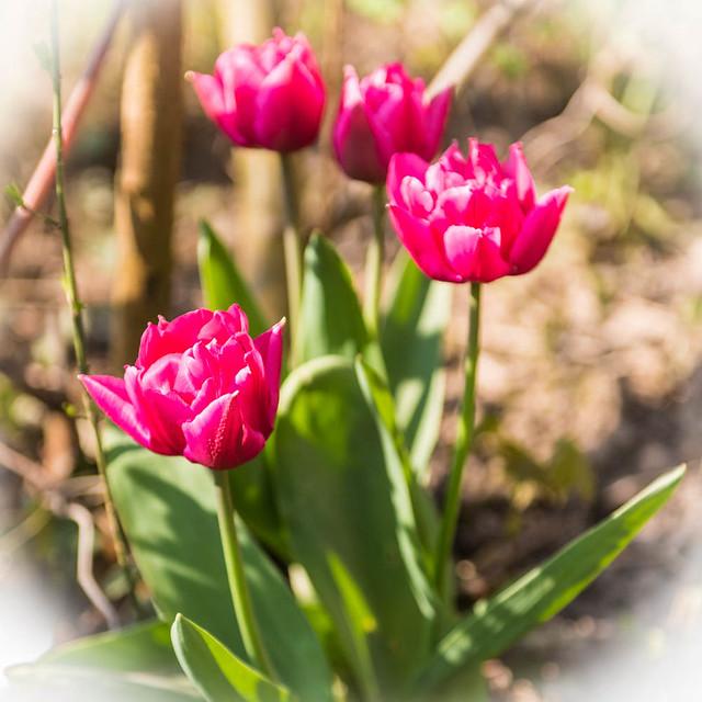 Tulpen_016