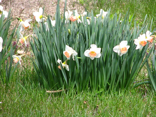 'Easter Bonnet' daffodils