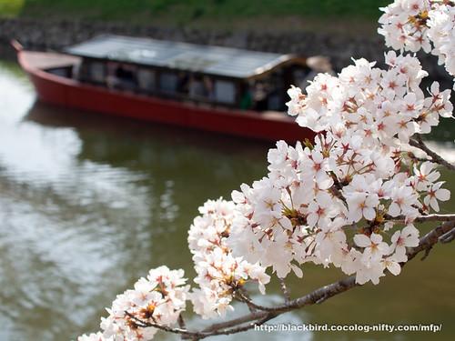 Cherry blossoms 20180403 #07