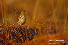Meadow Pipit in the Morning Sun (Anthus pratensis)