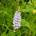 early spotted orchid