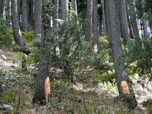 गंगोत्री हाइवे पर चिन्हित देवदार के पेड़