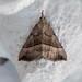 Snout - Hypena proboscidalis