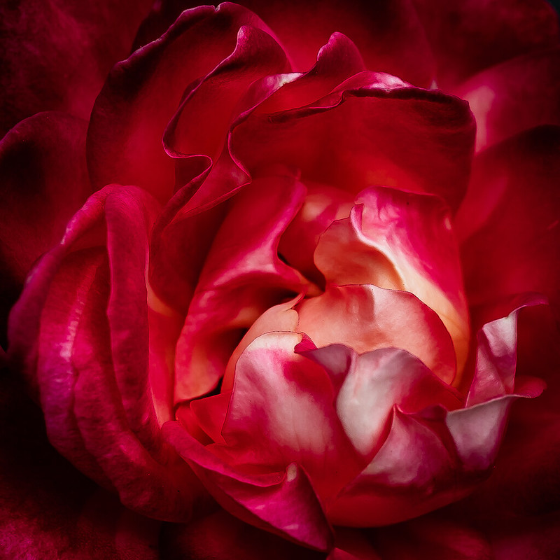Coeur de Rose (version couleur) 42112192265_cb2b63cb88_c