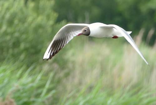 kokmeeuw -  black-headed gull