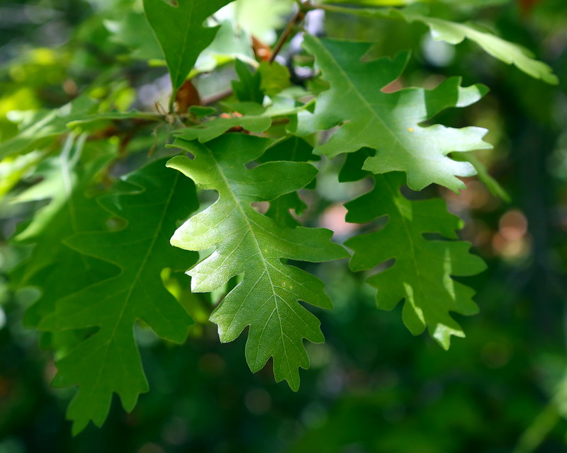 IMG_4009 Gambel Oak, Zion National Park