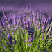Oh, the lavender by Marcia H