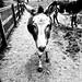 Royal Donkey
