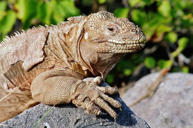 Barrington or Santa Fe Land Iguana, Santa Fe Island, Galapagos