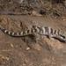 Bynoe's Gecko (Hetrenotia binoei) by Jordan Mulder