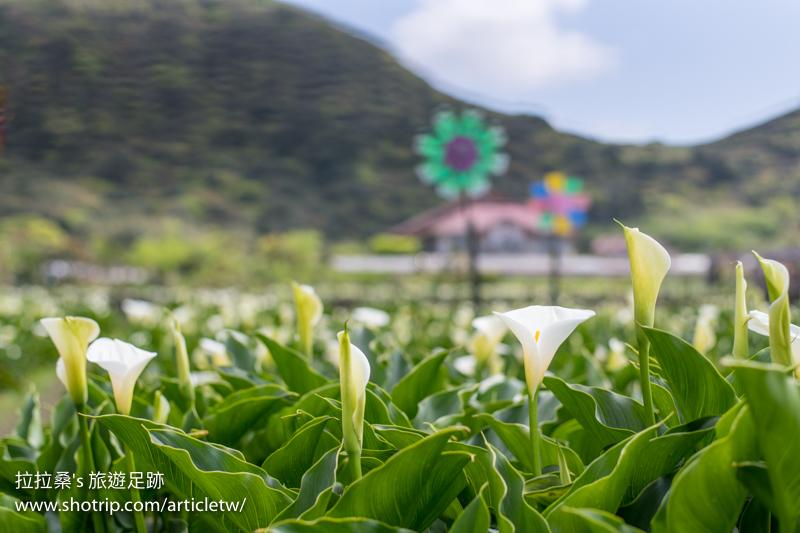 竹子湖海芋季|台北陽明山頂湖環狀步道,包圍於潔白海芋中的田園小徑,愜意散步、拍照、賞海芋趣