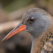 water rail 20 2018 head