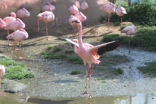 Lesser flamingo / コフラミンゴ