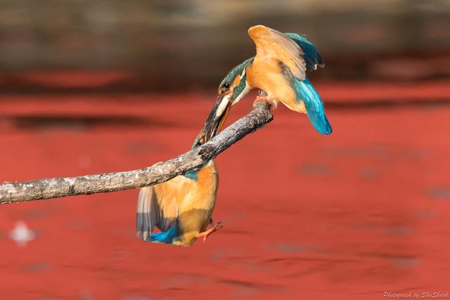 20180331-kingfisher-DSC_0752