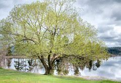 Spring Tree - Pinhey's Point, Ontario