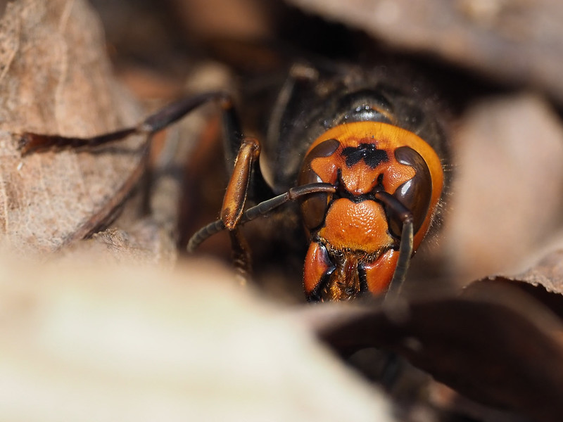 冬眠中のコガタスズメバチ女王