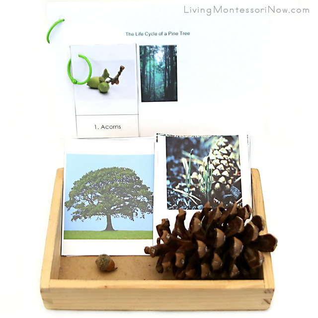 The Life Cycle of an Oak Tree and The Life Cycle of a Pine Tree
