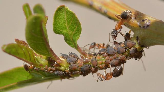 Ants aphids on Greenbark Ceanothus