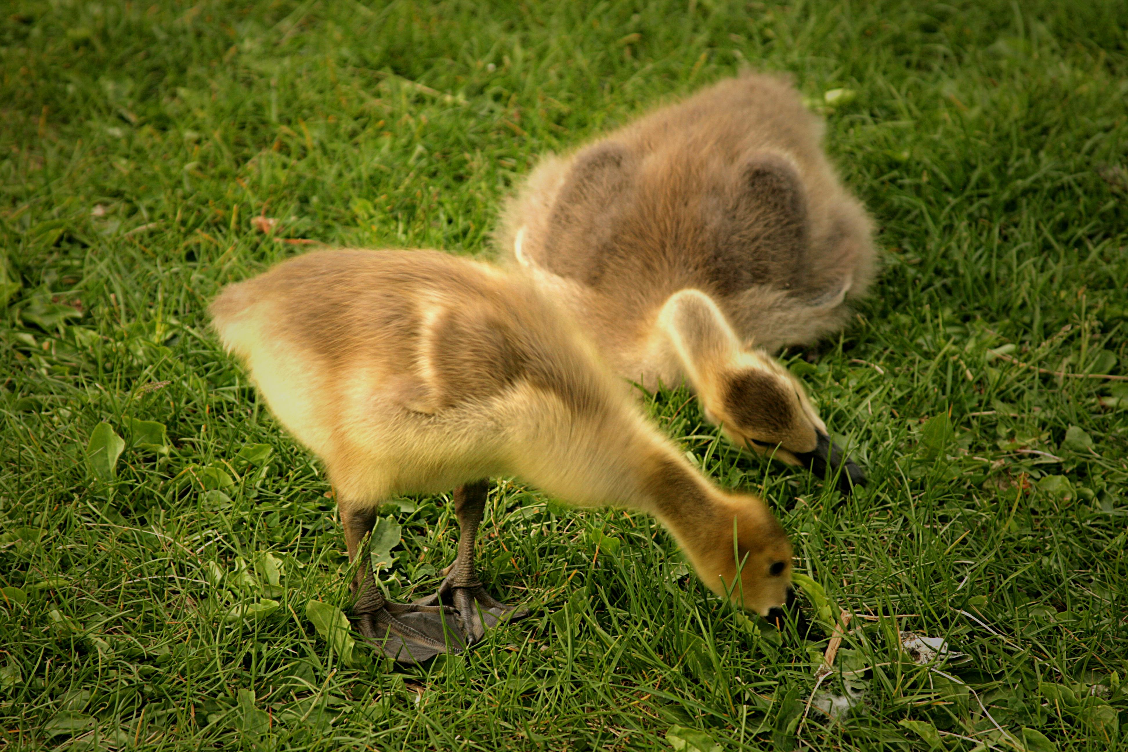 Canada Goose goslings in Hawrelak Park, Edmonton, Alberta, Canada. Photo taken on June 6, 2013.