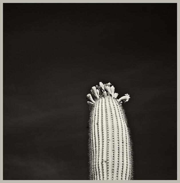 AZ-SO Desert Museum IR #12 2018; Saguaro Blooms