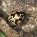Pied Shieldbug Final Instar Nymph