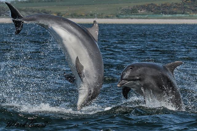 Bottle nosed dolphins, Nikon D500, AF-S Nikkor 70-200mm f/4G ED VR