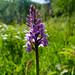Pyramidal orchid, Baggeridge