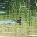 Aves en las lagunas de La Guardia (Toledo) 17-6-2018