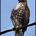 Immature Red-tailed Hawk by Olympic Peninsula Photography