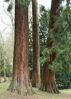 20180322-13_Coombe Abbey Country Park - Tall Redwoods