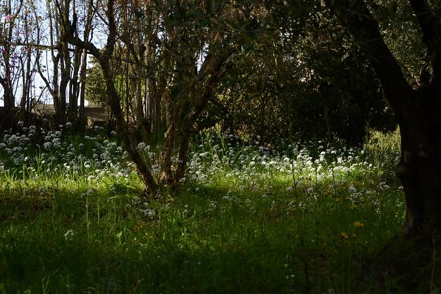 allium neapolitanum - Allium neapolitanum - ail de Naples 39687887780_5ac0709dcb_z