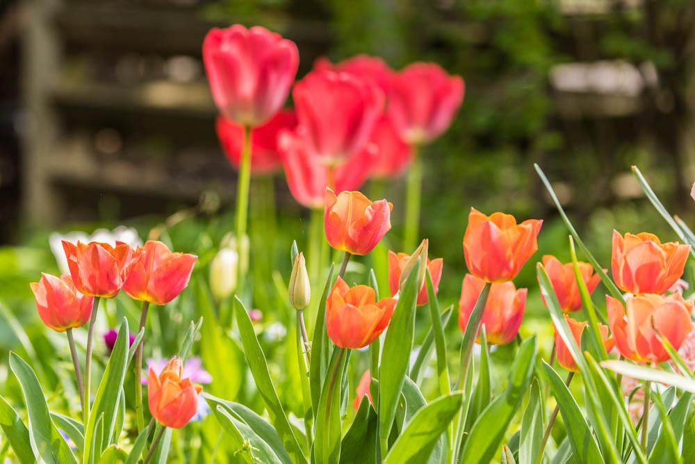 Tulpen2_007